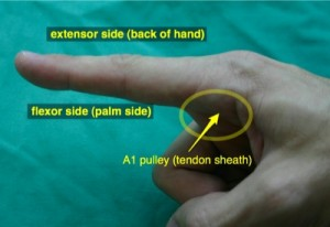 flexor and extensor sides of the index finger